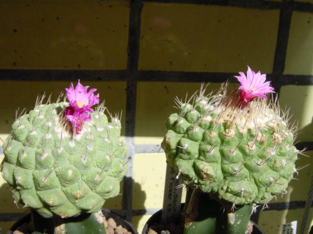 Strombocactus VDXmf
