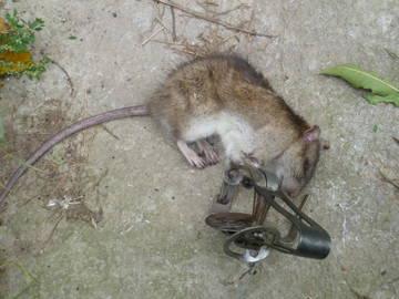 Капканы крысу своими руками