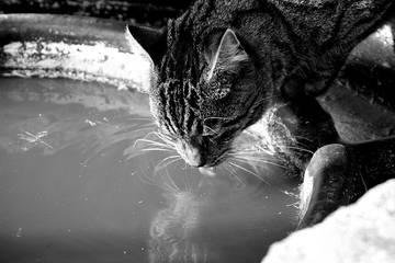 Почему кошки пьют грязную воду